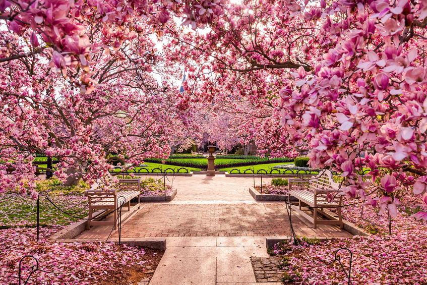 Top Spots For Cherry Blossoms In Virginia Maryland Dc